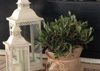 Laterner-olivenplante